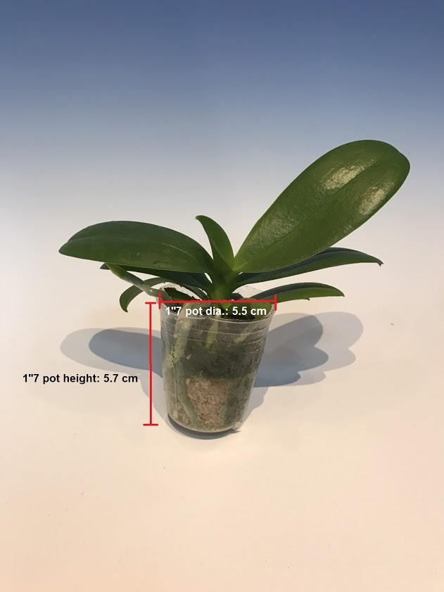 Phalaenopsis Knowledge Pot Size